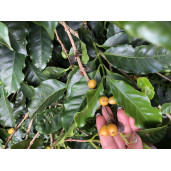 Founder's Selection - Panama Chico Gallo 250g | Natural Uscată